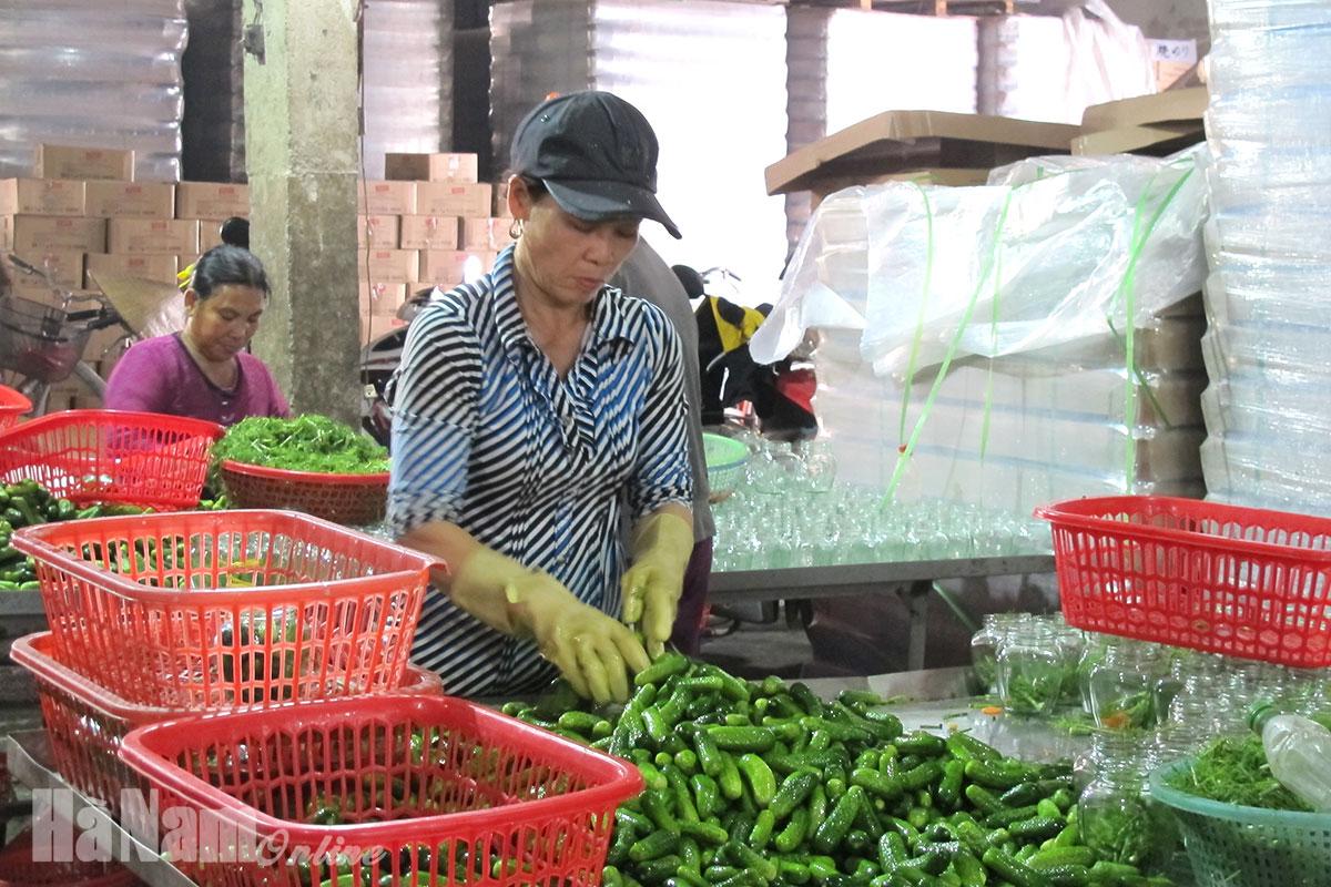Hà Nam - Hiệu quả sản xuất dưa chuột bao tử xuất khẩu ở Chân Lý